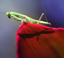 Mantis against the noon sun. by insecthunter
