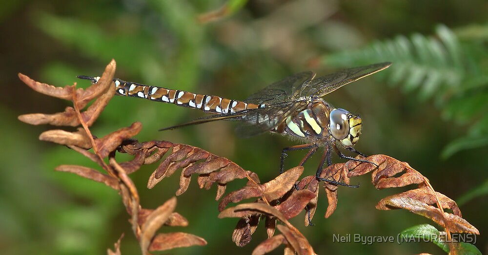 Common Hawker Dragonfly by Neil Bygrave (NATURELENS)
