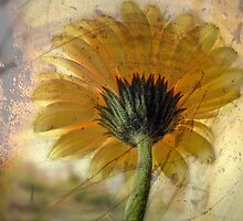 Gerbera & Overlays. by mariarty
