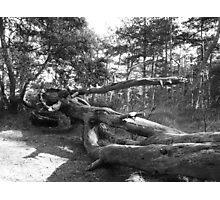 Fallen Giant Photographic Print