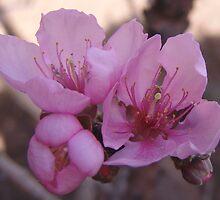 Minature Peach Tree in bloom - So. California by leih2008