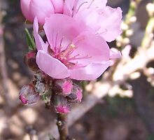 Peach Tree in Bloom - Dwarf Peach Tree Blooms, La Mirada, CA USA  (864 Views 5-12-11) by leih2008