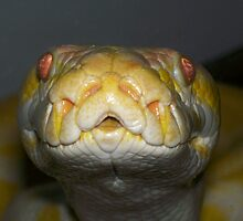 My albino python by scooby29