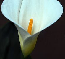 Calla Lily by Mariann Kovats