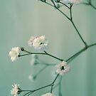 Gypsophila by AnnieD