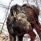 Baby Moose by Gene Praag