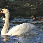 Glenarm swan by crackerjack