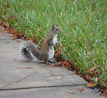 Grey Squirrel Lake Buena Vista, FL by Scottzye