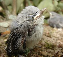 THUMB SIZED FLEDGLING by Ginger  Barritt