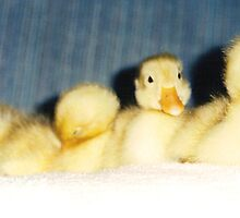 baby ducks in a row by rue2