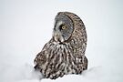 Great Gray Owl by Michael Cummings