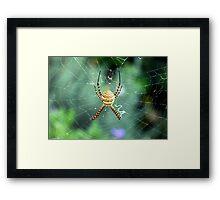 Argiope trifasciata topside Framed Print