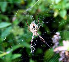 Argiope trifasciata underbelly by Shelley Heath