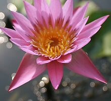Pink Water Lily at Royal Palace, Cambodia by Leigh Penfold