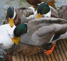 Love or lust (Ducks) by jdmphotography