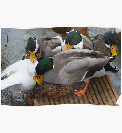 Love or lust (Ducks) Poster