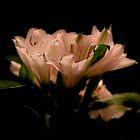 Dark Pink by adamfg