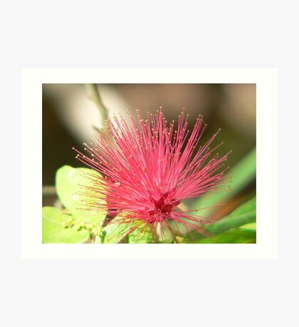 Bottle Brush Flower Art Print