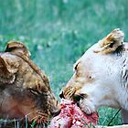 Lionesses Feeding by Robert Deaton