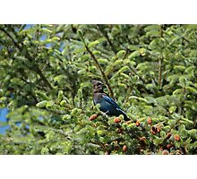 Stellar's Jay in the woods Photographic Print