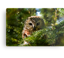 Northern Saw Whet Owl - Amherst Island, Ontario, Canada Metal Print