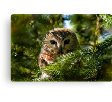 Northern Saw Whet Owl - Amherst Island, Ontario, Canada Canvas Print