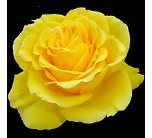Beautiful Yellow Rose Flower on Black Background Photographic Print