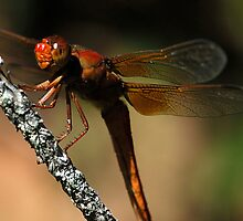 Big Red - - libellula croceipennis  (Neon Skimmer dragonfly) by Dennis Jones - CameraView