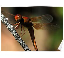 Big Red - - libellula croceipennis  (Neon Skimmer dragonfly) Poster