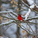Kentucky Cardinal by Sherri Hamilton
