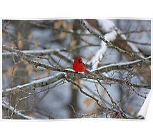 Kentucky Cardinal Poster