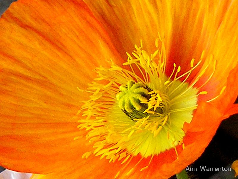 Orange 1 by Ann  Warrenton