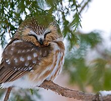 Sleeping Northern Saw Whet Owl - Ottawa, Ontario by Michael Cummings