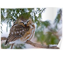 Sleeping Northern Saw Whet Owl - Ottawa, Ontario Poster