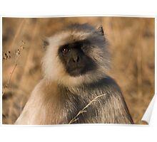 Langur Monkey Poster