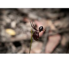Flying duck orchid Photographic Print