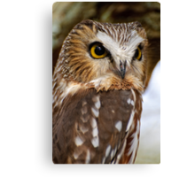 Saw Whet Owl - Amherst Island, Ontario Canvas Print