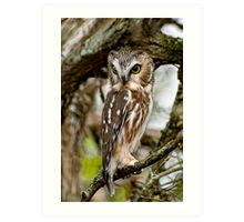 Northern Saw Whet Owl - Amherst  Island, Ontario Art Print
