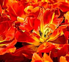 Red Tulips Macro by luckypixel