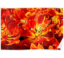 Red Tulips Macro Poster