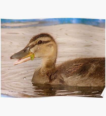I Can Talk With Food In My Mouth - Mallard Duckling - NZ Poster