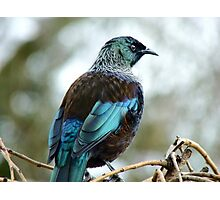 Iv'e A Lace Collar & No Pink Tights!!! - Tui - NZ  Photographic Print