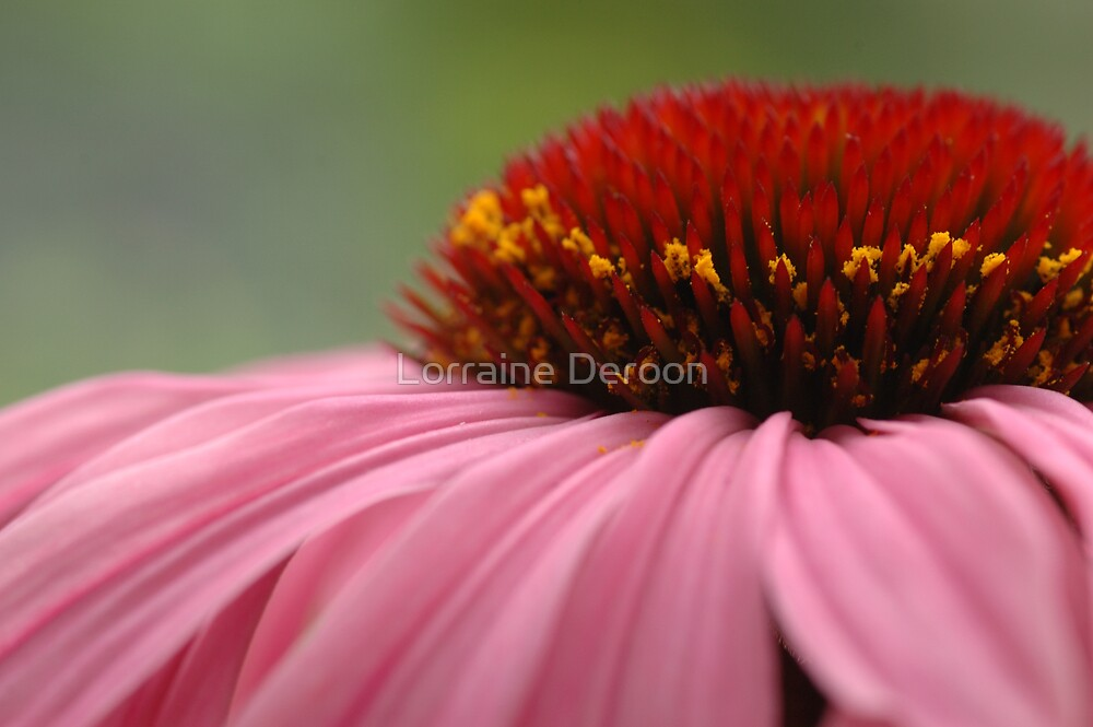Purple Cone Flower by Lorraine Deroon