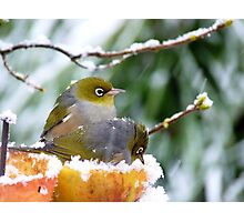 She's Sitting In An Apple!! Silver-Eyes - NZ Photographic Print
