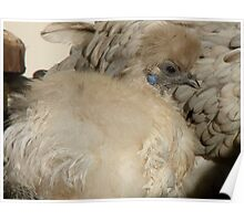 I'm Silk In A Sea Of Feathers!!! - Silky Hen - NZ Poster