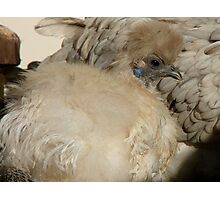 I'm Silk In A Sea Of Feathers!!! - Silky Hen - NZ Photographic Print