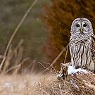 Barred Owl on log by Michael Cummings