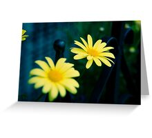 Daisies in Beacon Hill Greeting Card