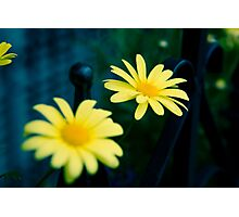 Daisies in Beacon Hill Photographic Print