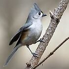 Titmouse by Gaby Swanson  Photography